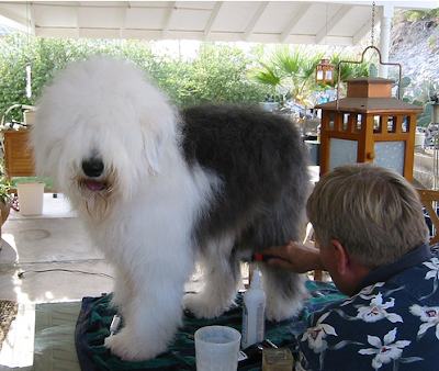old English sheep dog being groome