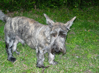 brindle Scottish Terrier