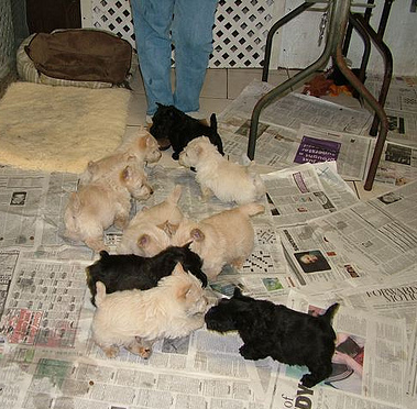 Scottish Terrier puppies black and wheaten