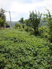 Não só de Cerejas vive a Quinta, vejam as Batatas....