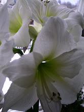 Älskar vita Amaryllis.....