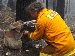 poor sam the koala