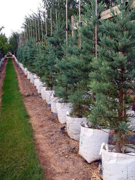 Naturaleza y medio ambiente secuoya gigante centinela del for Viveros de arboles grandes