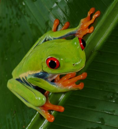 The Green Tree Frog has become more and more popular over the year.