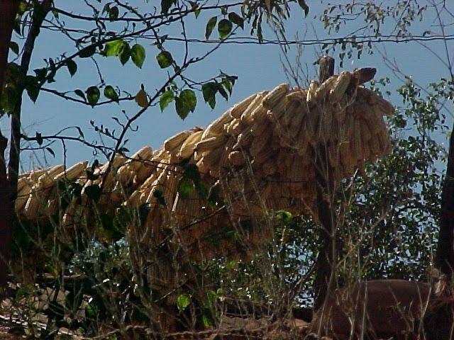 Secando maíz por el rumbo de la sindicatura de Sanalona