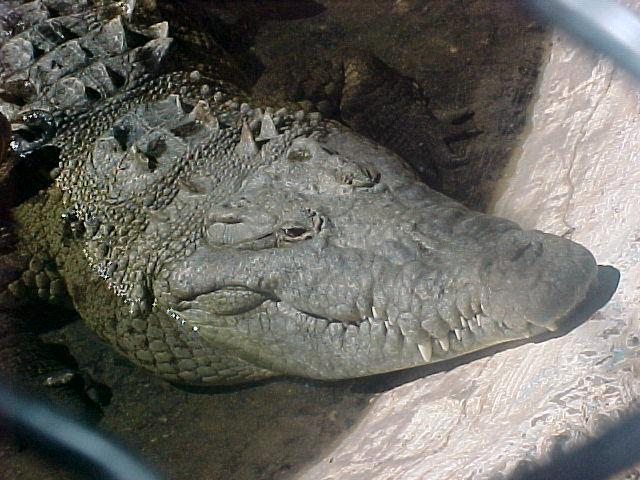 Cocodrillo sinaloense en el Zoologico de Culiacán
