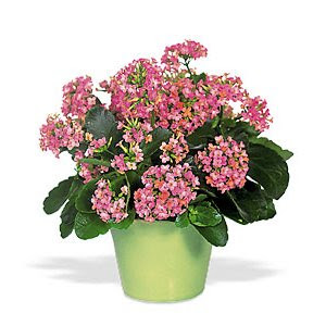 bank of flowers easy to care for kalanchoes. Black Bedroom Furniture Sets. Home Design Ideas