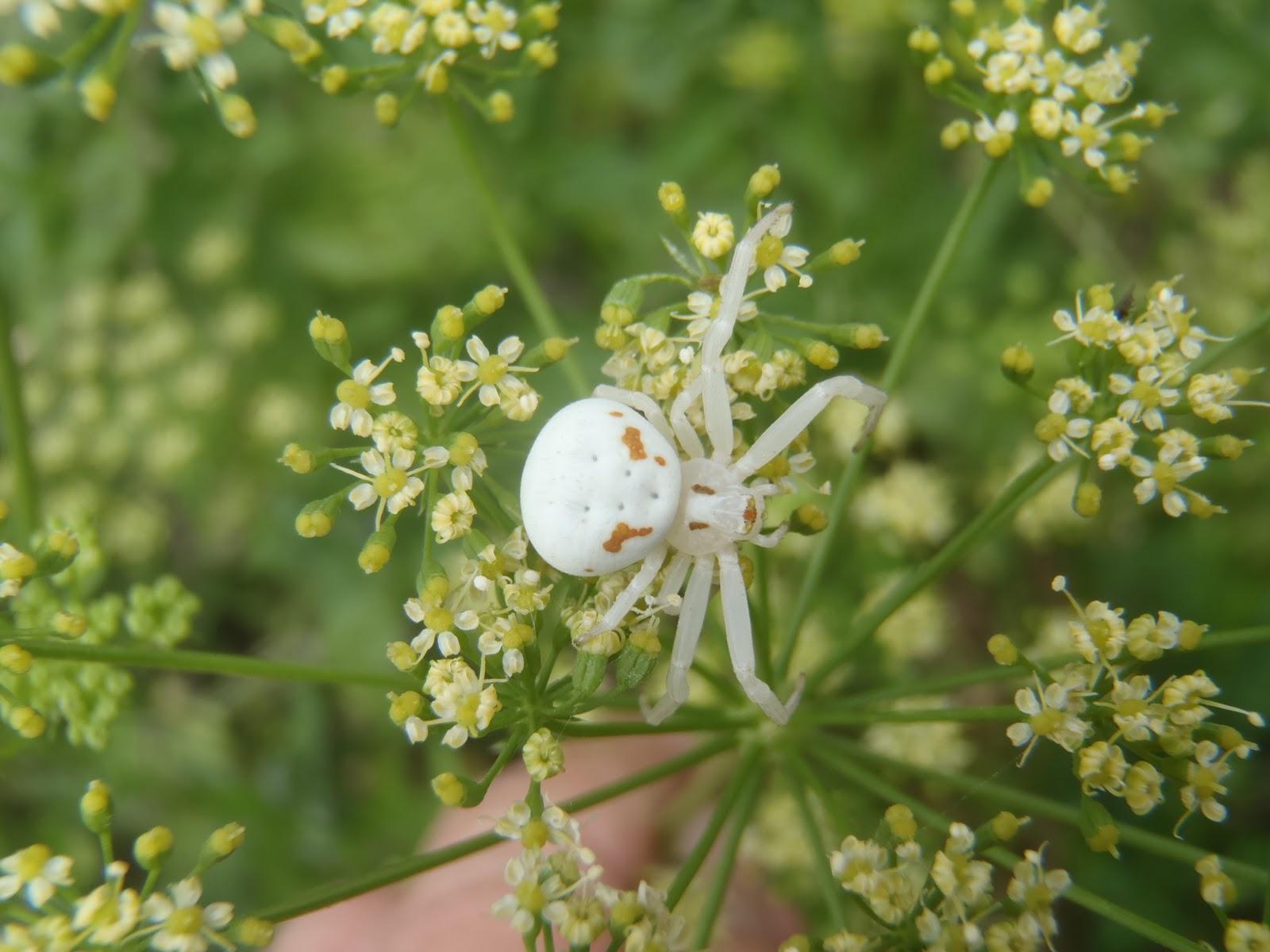Kapunda Garden Thomasis Spectabilis White Crab Spider