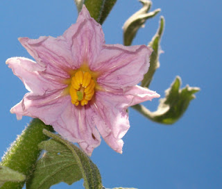 White Eggplant Blossom