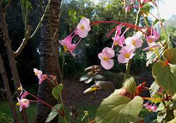 La begonia