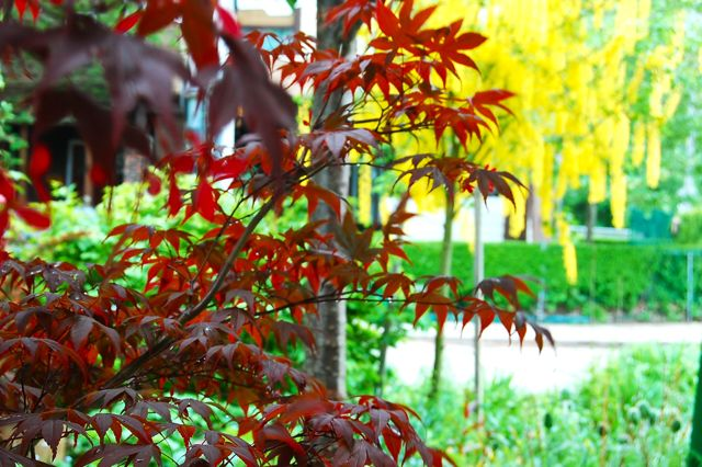 Clothes And Stuff Online Japanese Maple Tree Meaning