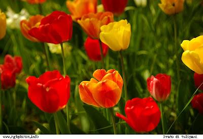 Fotografia di prato di tulipani a colori gialli e rossi su sfondo verde. Macchina fotografica Canon EOS 10D, ottica canon ef 70-300 stabilizzata