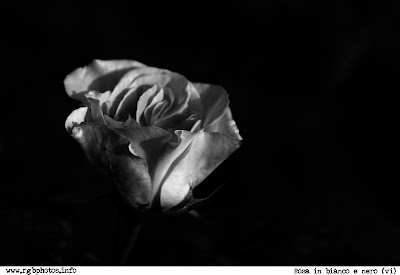 Fotografia in bianco e nero di bocciolo di rosa (ambra rosata). Canon EOS 10D