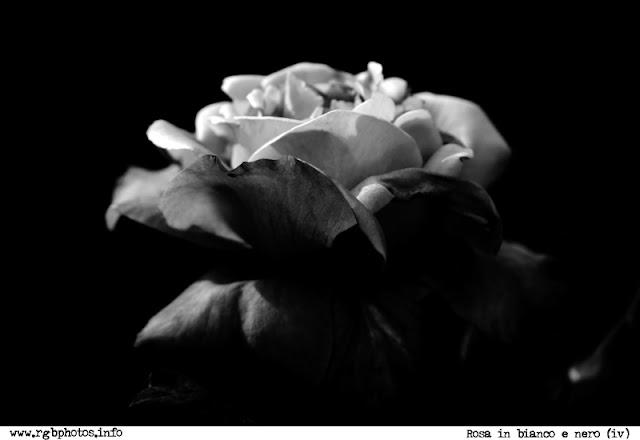 Fotografia in bianco e nero di fiore di rosa, fotografato di lato