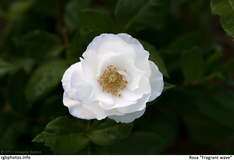 Fotografia di fiore di rosa bianco