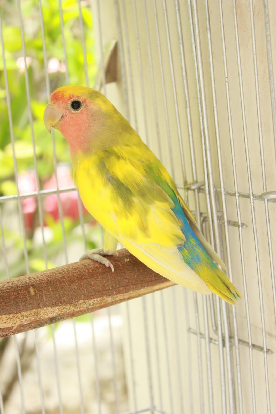 Watta Bird!: Pied Factor LoveBirds