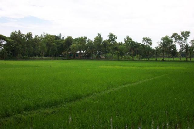 [paddy+field+near+village.jpg]