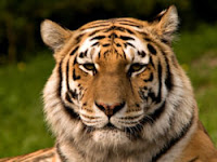 Justice would be served if this endangered Siberian tiger ate Stephen Harper