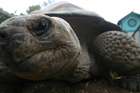 Galapagos tortoise: angry at geo-engineers