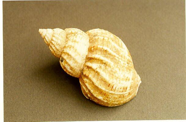 Long Spiral Shell