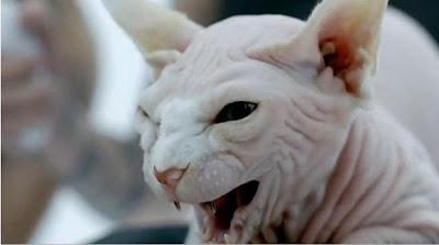 Sphynx Cat Bad Romance