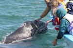 Gray Whale Watching, Pto. San Carlos, B.C.S.