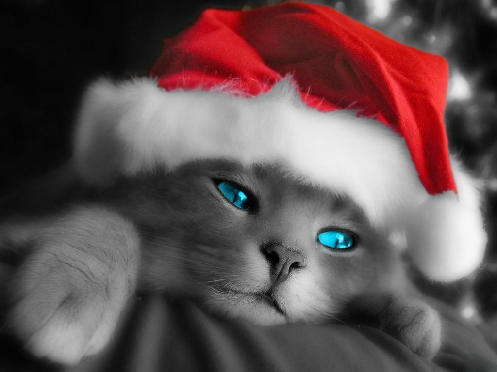 http://1.bp.blogspot.com/_mJ1AxHX5uAQ/TQ7uJpVstcI/AAAAAAAAAXg/YVSL051UaNo/s1600/cat+in+a+xmas+hat.jpg