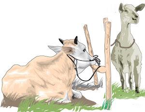 Pembahasan Lengkap Mengenai Hewan (Binatang) Kurban