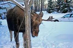 Bob the Moose