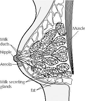 Female+breast+structure