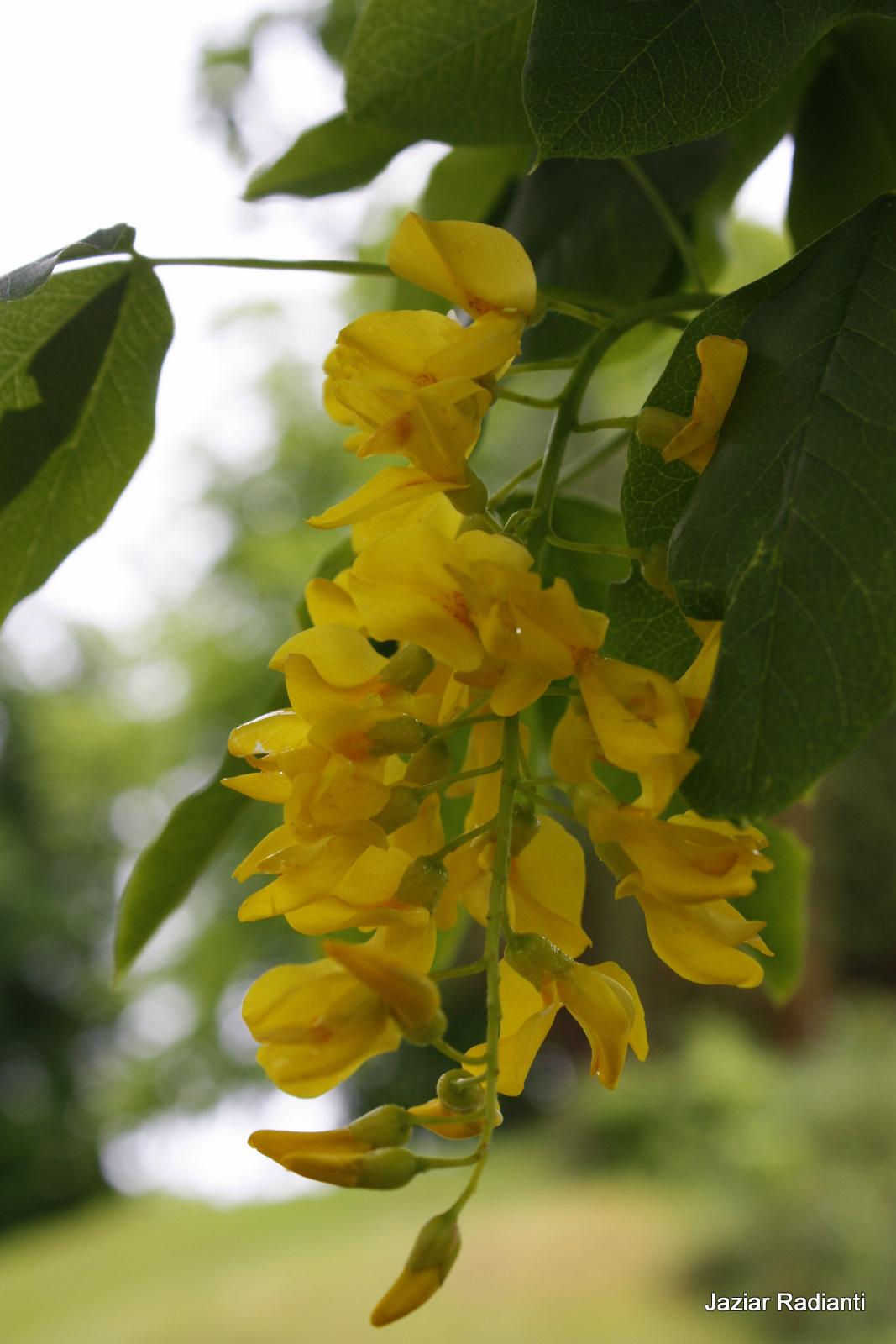 Laburnum Gullregn Wonderful Flowers
