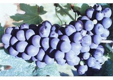 Uva Barbera vitis vinífera