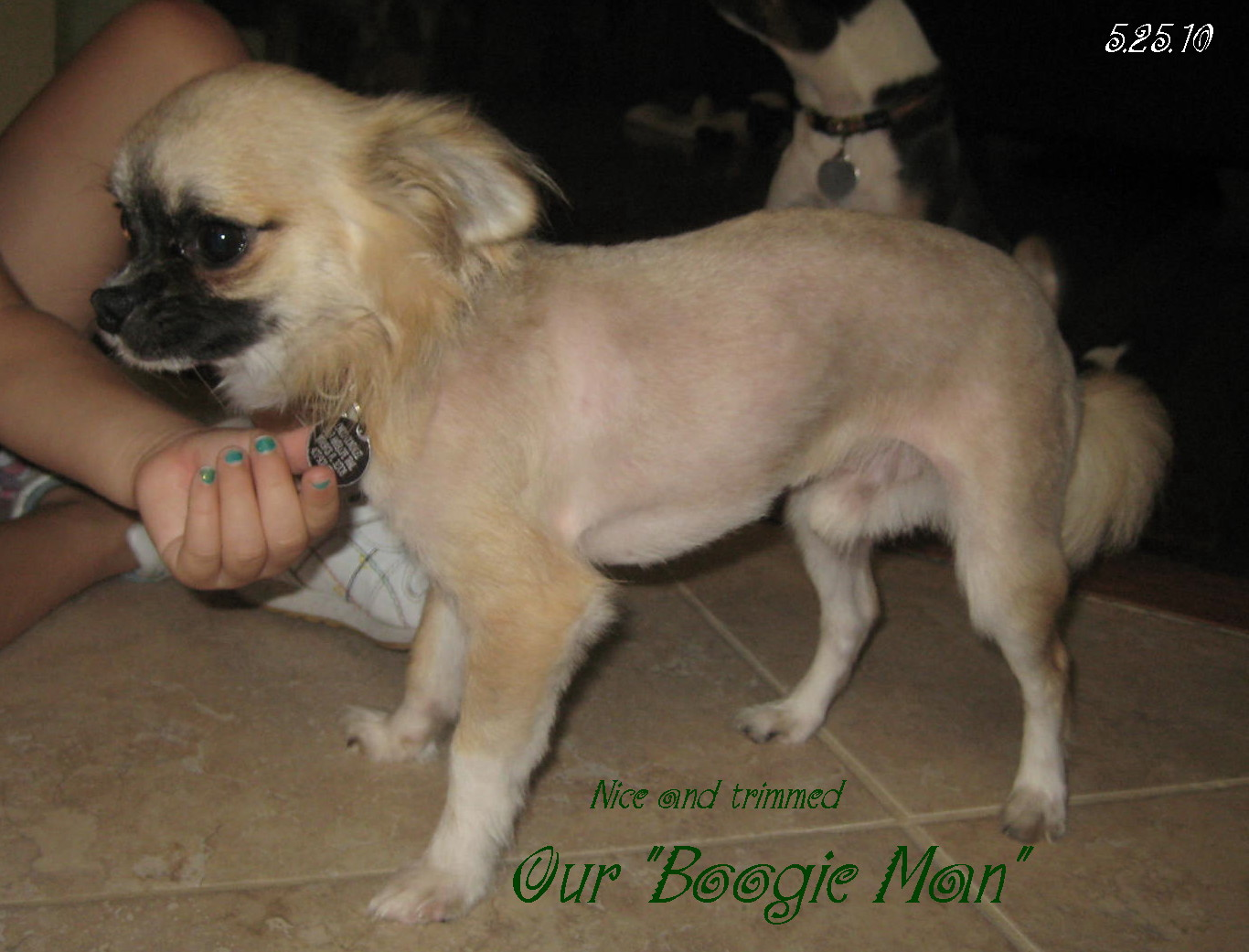 Haircuts For Long Haired Chihuahua | newhairstylesformen2014.com