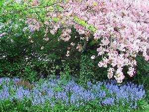 Mature growth and abundant flowers