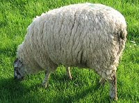 White sheep?