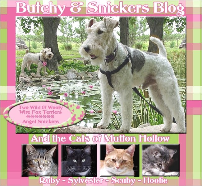 Butchy &amp; Snickers Blog-2 Wild &amp; Woolly Wire Fox Terriers