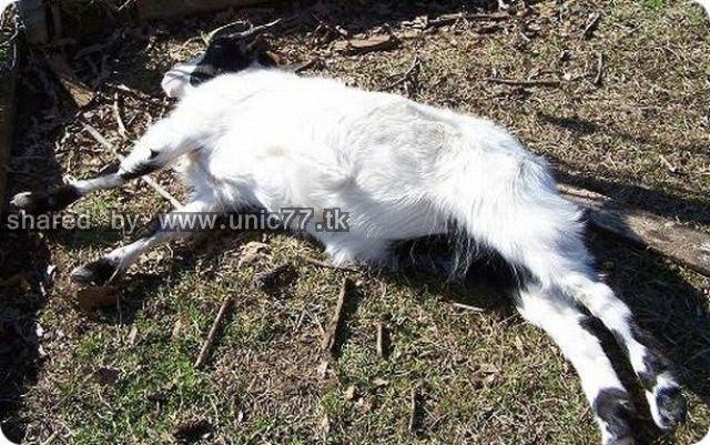 fainting_goats_640_06.jpg (640×401)
