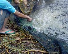 Ikan lele di masukkan dalam sanggi