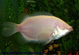 Jb 39 s big world pink kissing gourami fish for Pink kissing fish