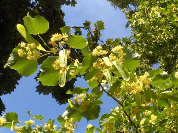 Curarsi con le erbe rimedi naturali e tradizione tiglio for Tiglio albero