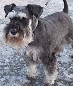 Isa, our wonderful miniature schnauzer:
