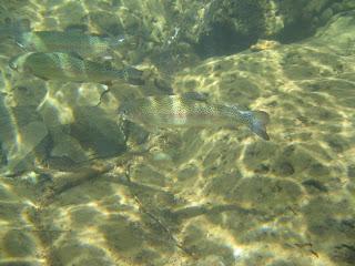 河裏的虹鱒