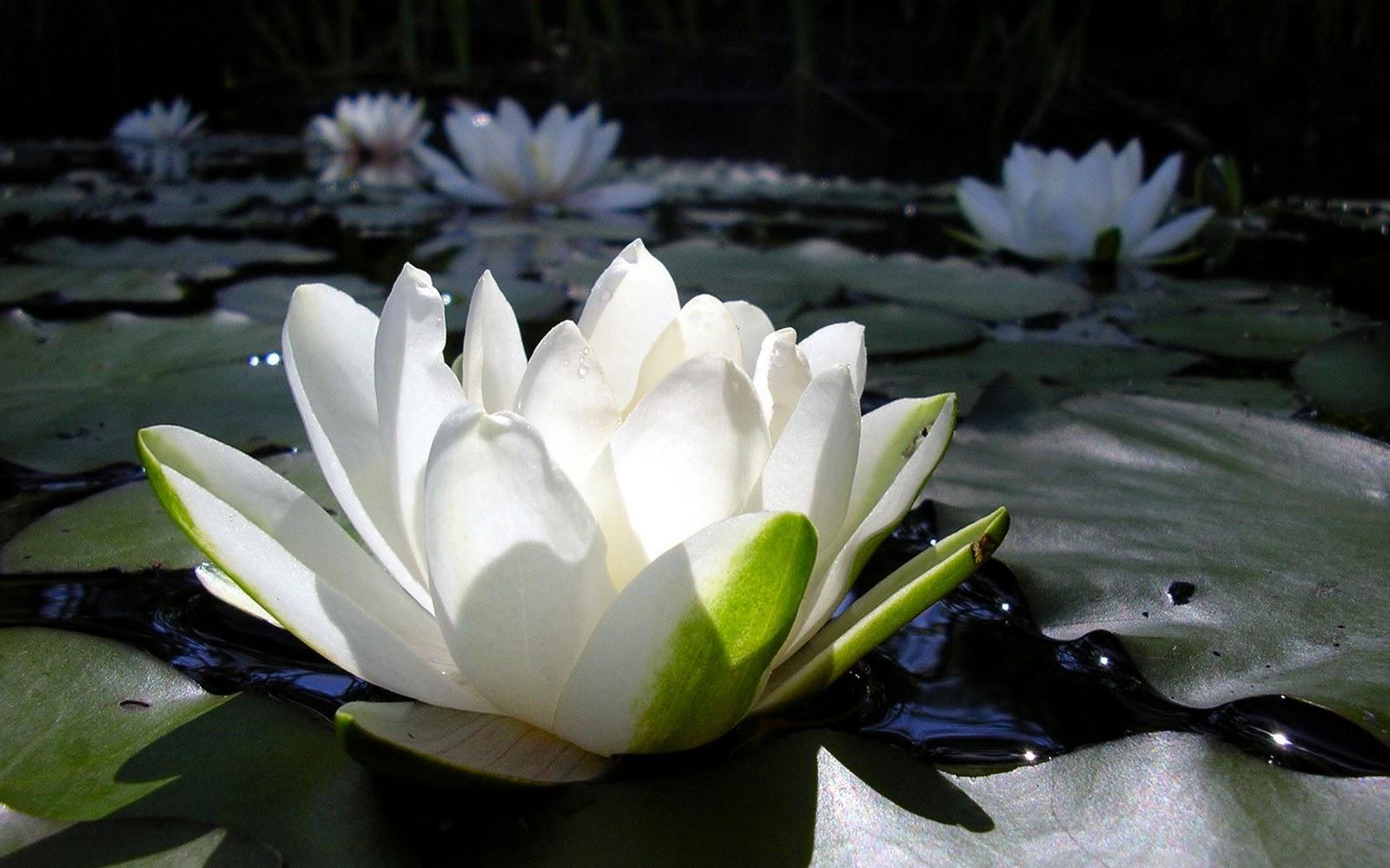 Shafa yoga blog live in peace like a lotus flower live in peace like a lotus flower izmirmasajfo