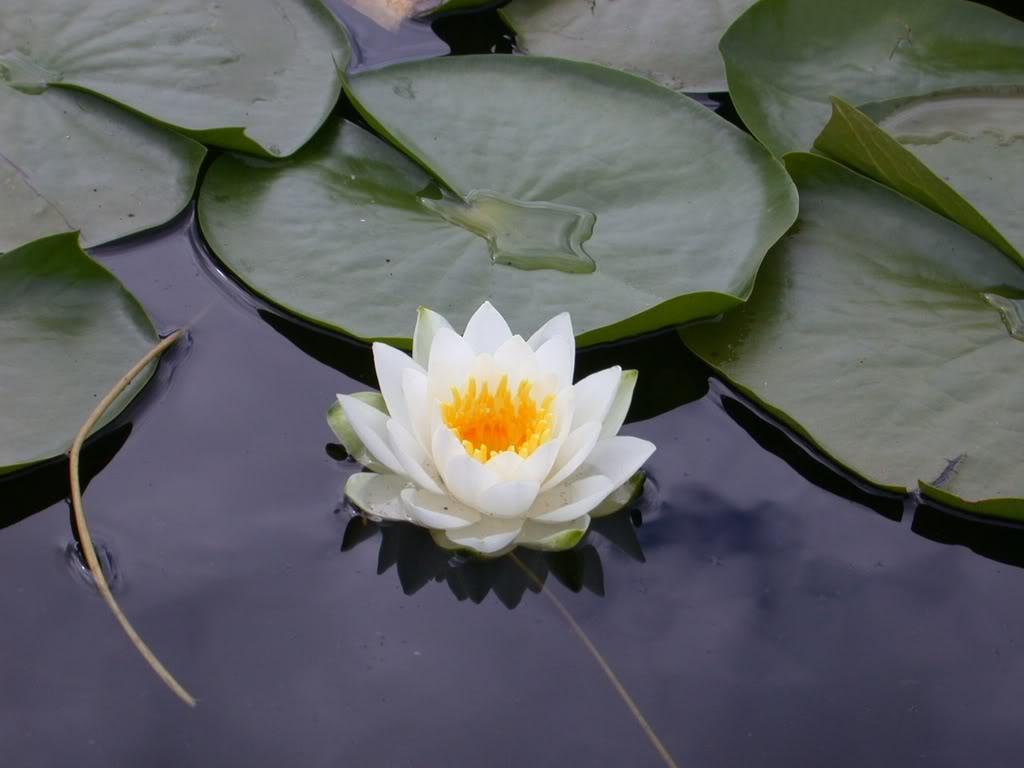 Shafa yoga blog live in peace like a lotus flower live in peace like a lotus flower izmirmasajfo Images