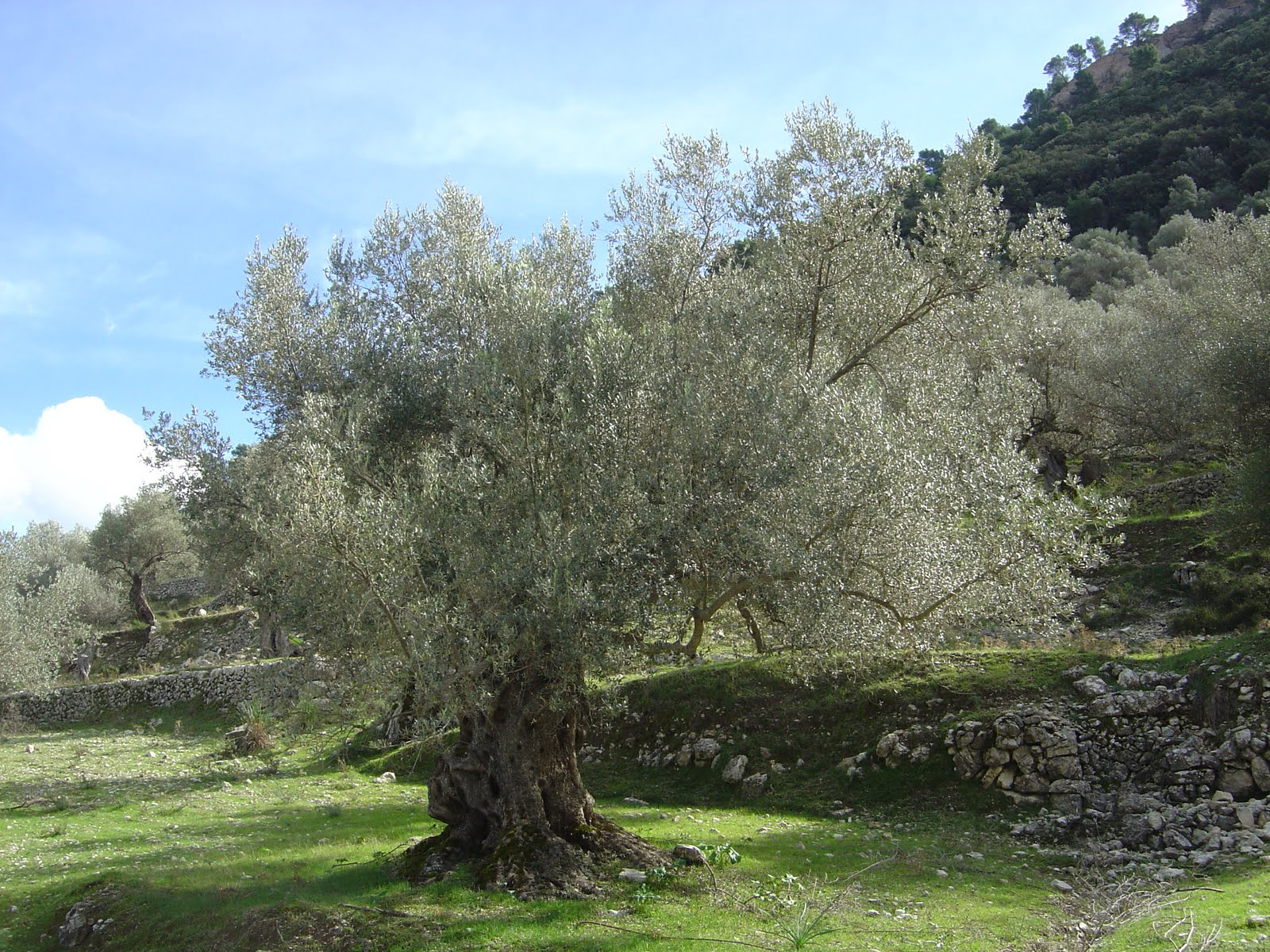 braley mama i am a wild olive tree. Black Bedroom Furniture Sets. Home Design Ideas