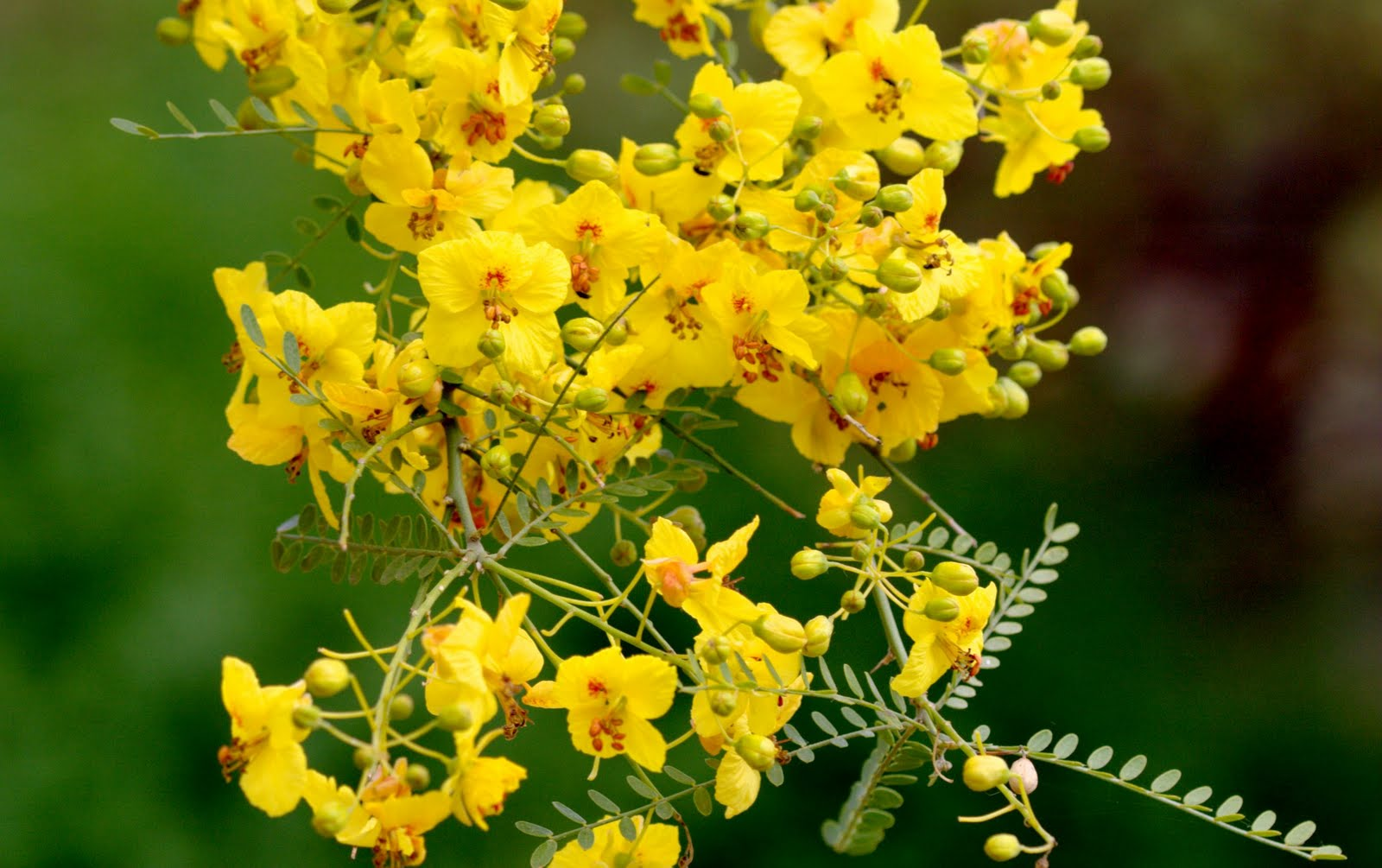 Conversations With Flowers Palo Verde Parkinsonia Florida