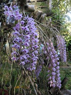 Ricardo S Blog Dendrobium Culture Anosmum And Its
