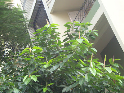 Rubber Plant http://nav-justanyrandomtopic.blogspot.in/2012/09/nature-walk-mumbai-trees-part-2.html