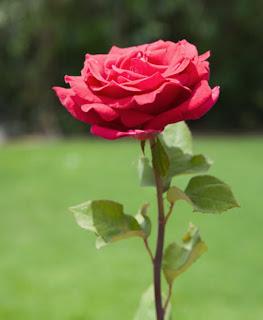 http://1.bp.blogspot.com/_m_nW86Tg4Ls/S8fJ2ky19dI/AAAAAAAAAcg/7rWu_xsduO8/s1600/rose7.jpg