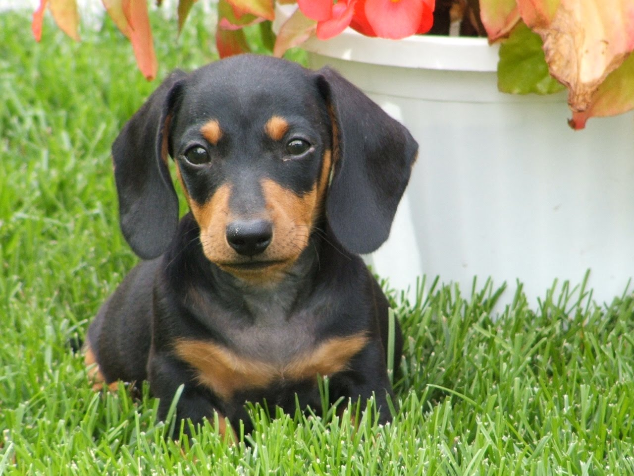 Dachshund Dog Breed Standard ~ Breeds of small dogs : best